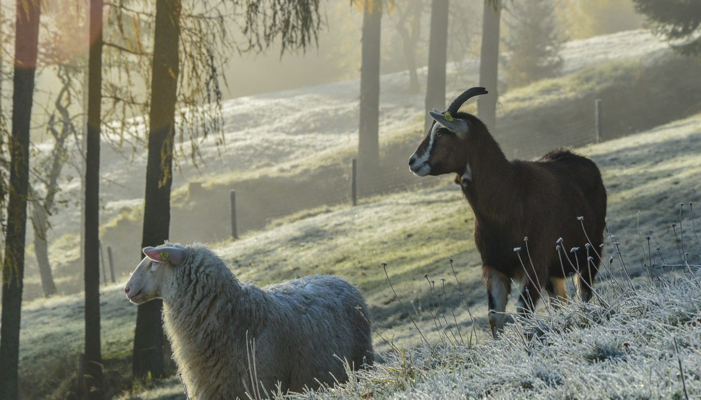 Schaf und Ziege vereint