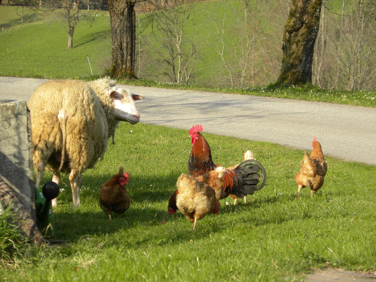 Hühner mit Milchschaf