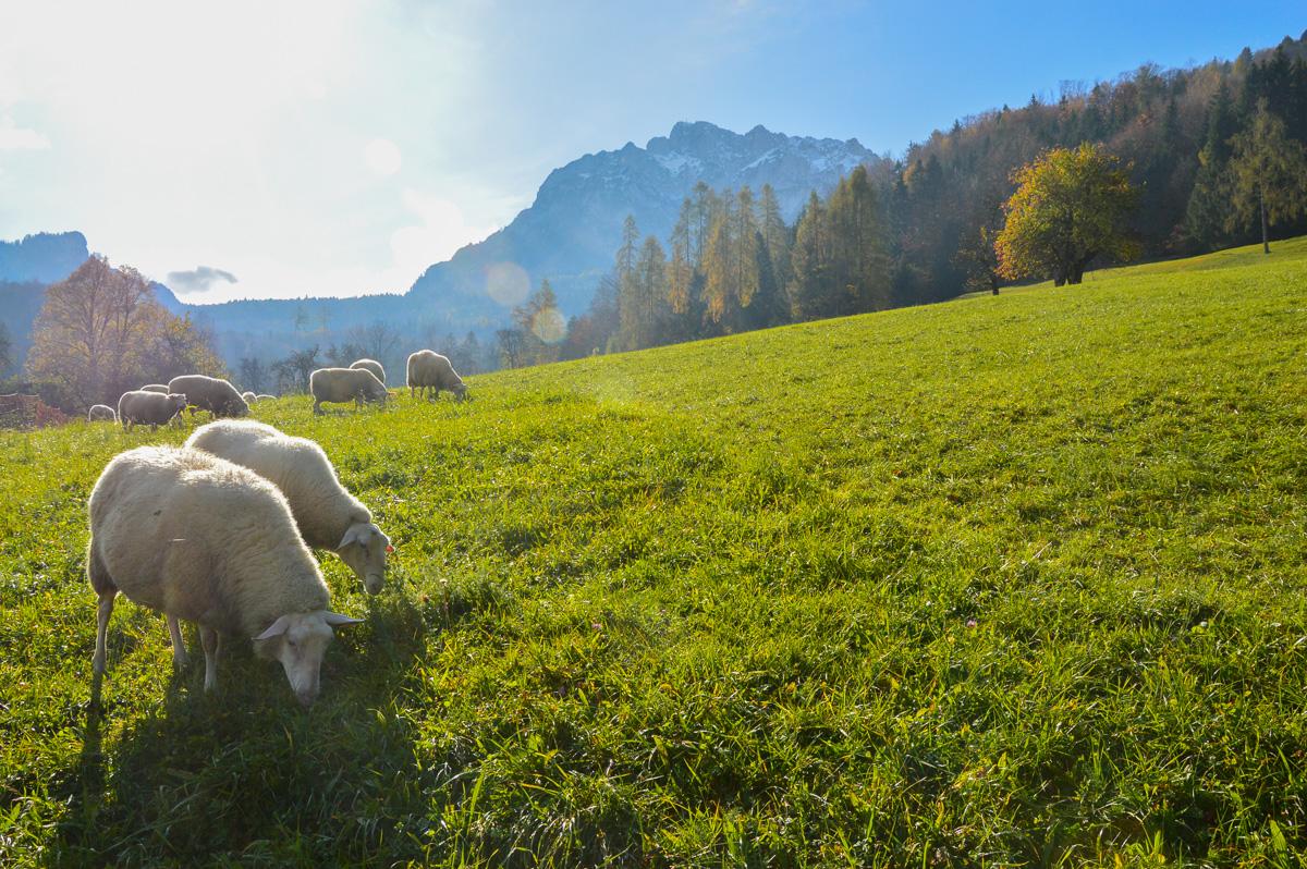 Schafe beim Weiden