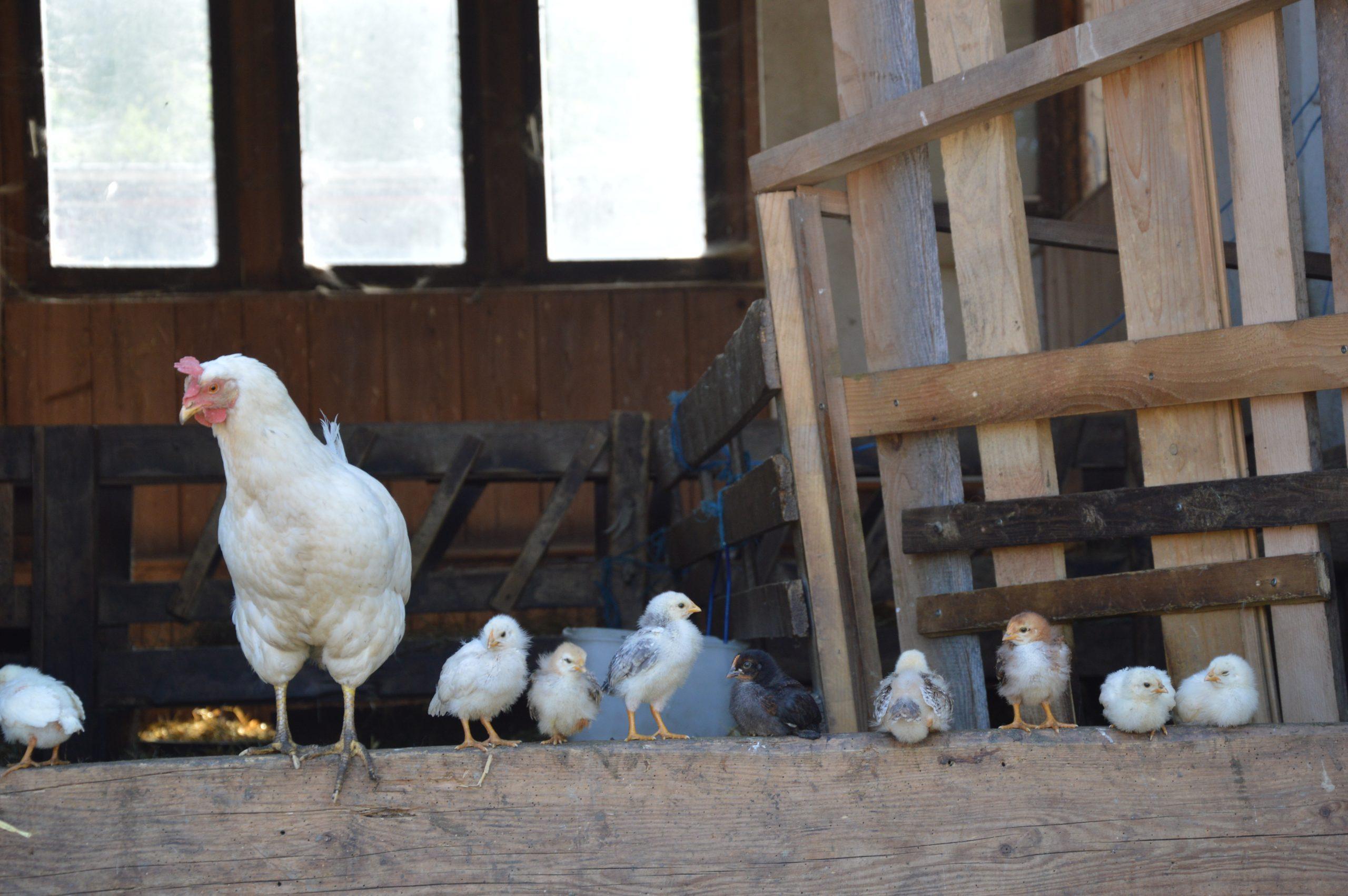 Hühner klein Stall